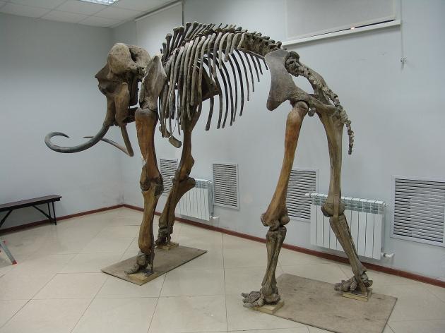 長毛象 標本(2) 2