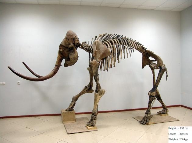 長毛象 標本(1) 2