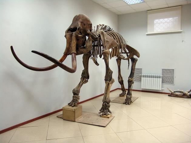 長毛象 標本(1) 1